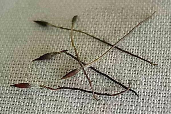 семена прострела