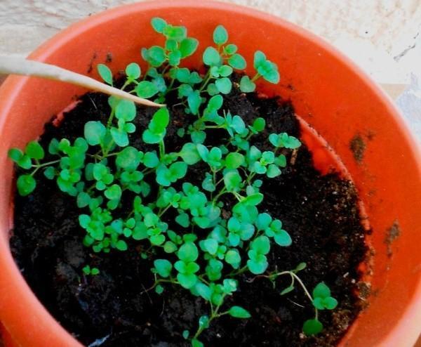 выращивание рассады тимьяна