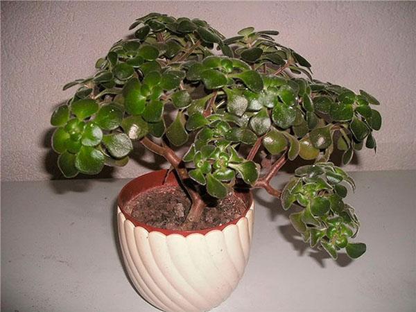 цветок аихризон дерево счастья как ухаживать