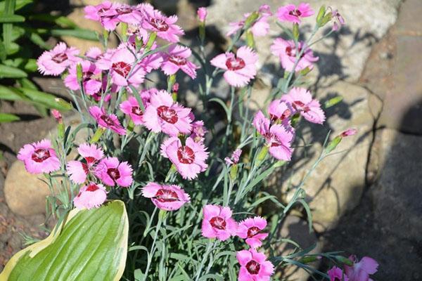многолетнее травянистое растения