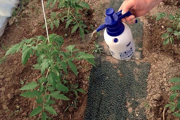 обработка томатов в теплице