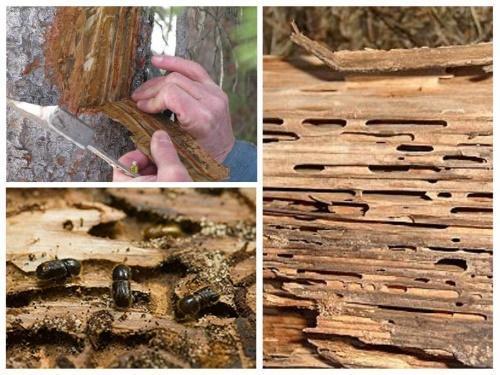как бороться с короедом на деревьях