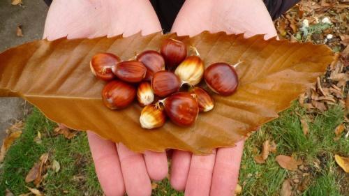 плоды съедобного каштана