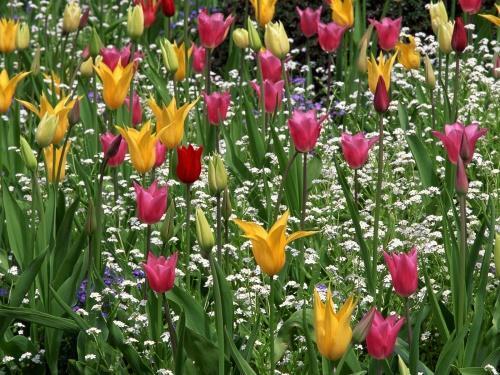 тюльпаны лилиецветные