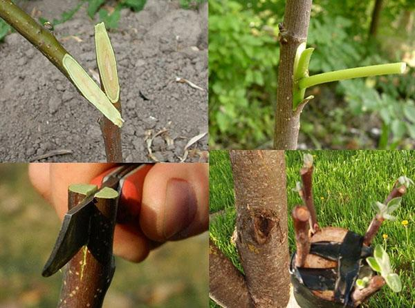 прививка дерева в апреле