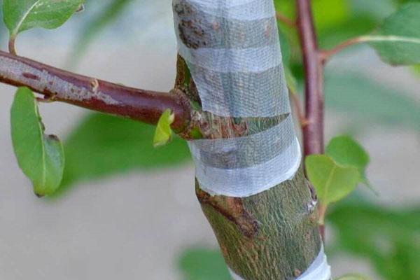летняя прививка деревьев