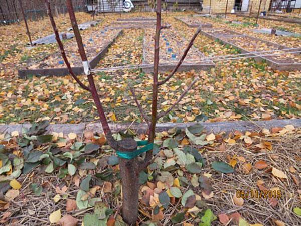 Можно прививать деревья осенью