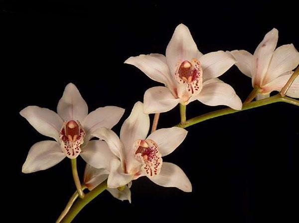 Орхидея Cymbidium заметный