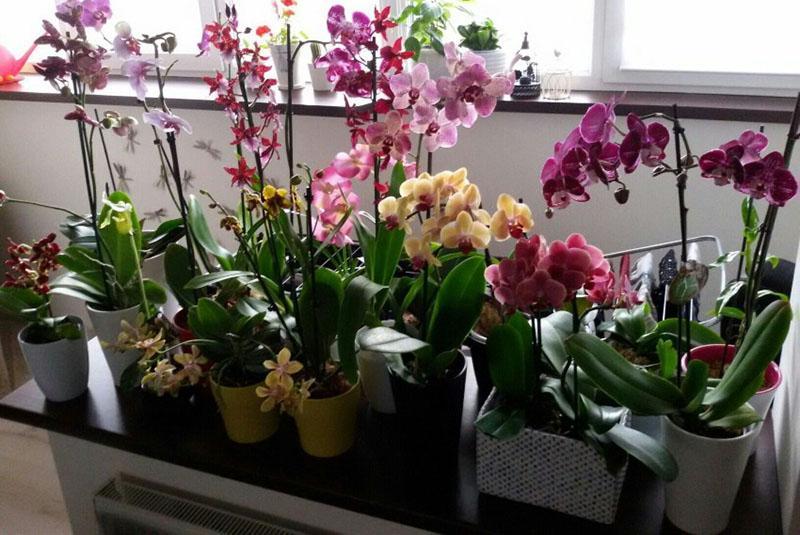 замечательные орхидеи в домашних условиях