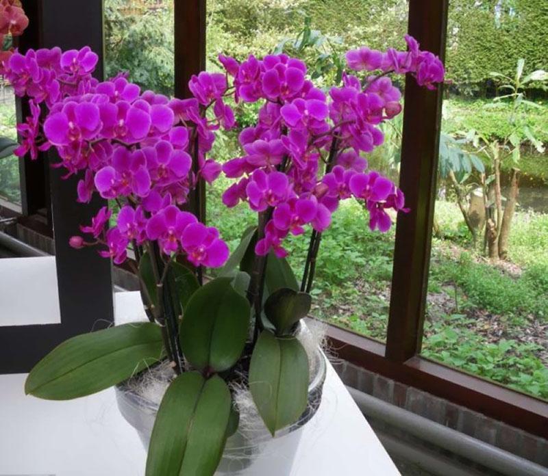 комфортная температура для орхидей