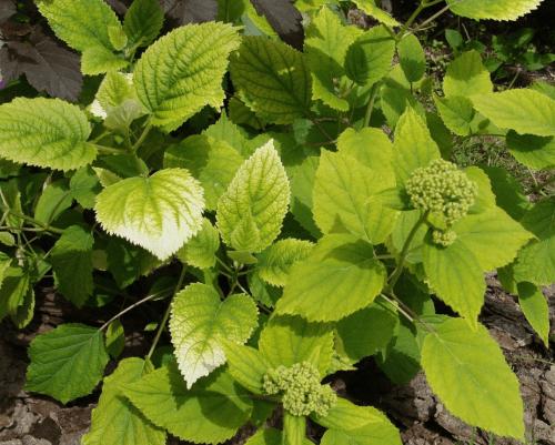 почему желтеют листья у гортензии