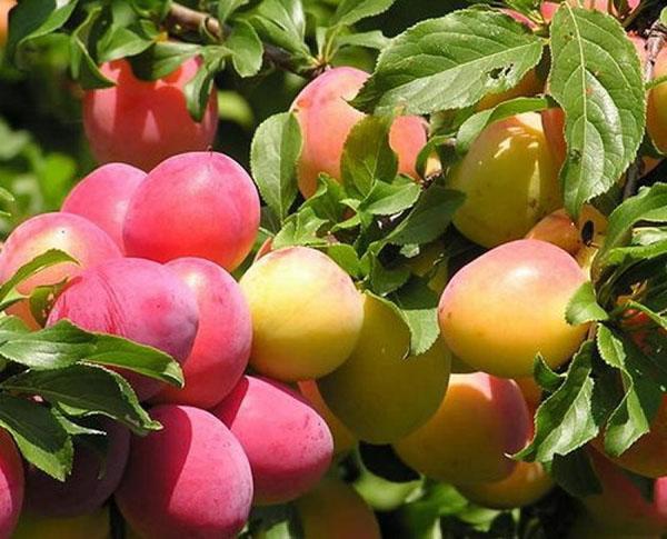 низкокалорийные плоды