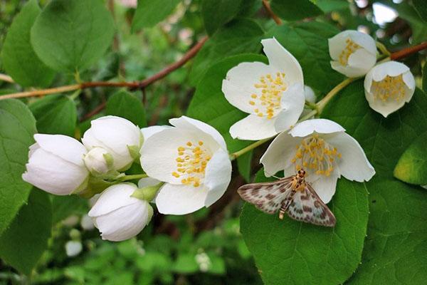 ароматное цветение чубушника венечного