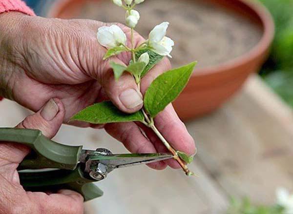 размножение чубушника венечного черенками
