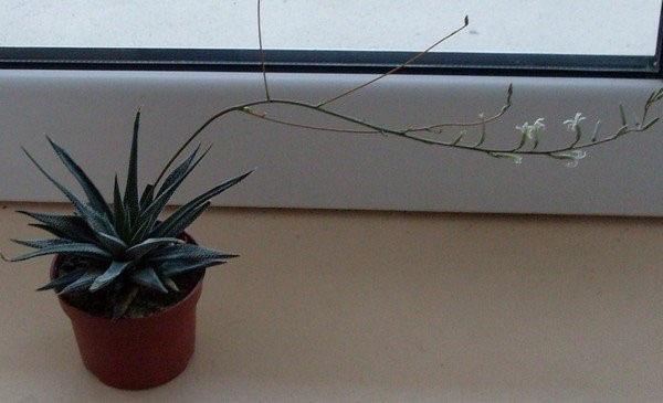 растение из Южной Африки