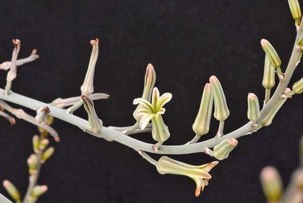 цветет хавортия