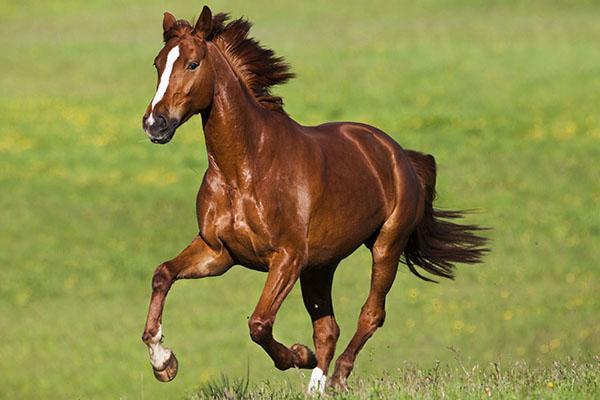 здоровая сильная лошадь