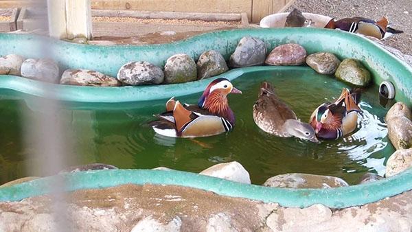 водоем для утки мандаринки