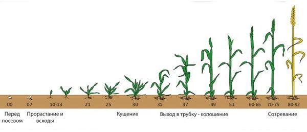 вегетативный период у растений