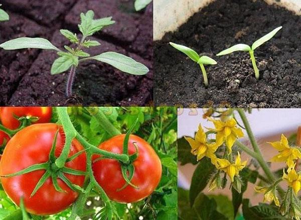 вегетативный период у помидор