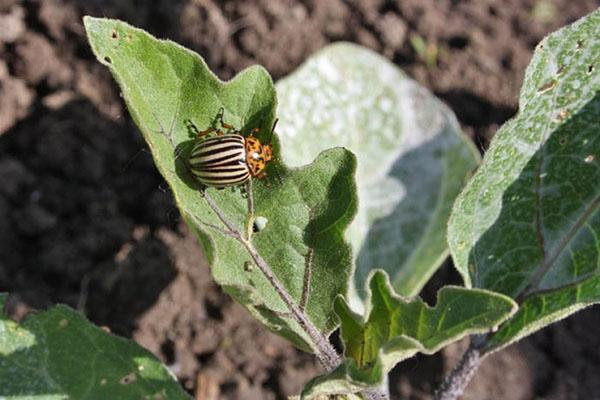колорадский жук на баклажанах