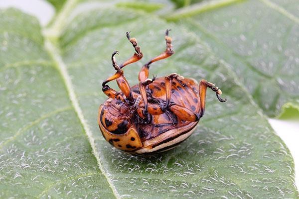 диапауза колорадского жука
