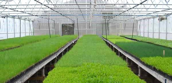 выращивание овсяницы в холодной теплице