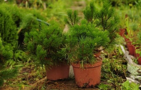 выращивание сосны горной
