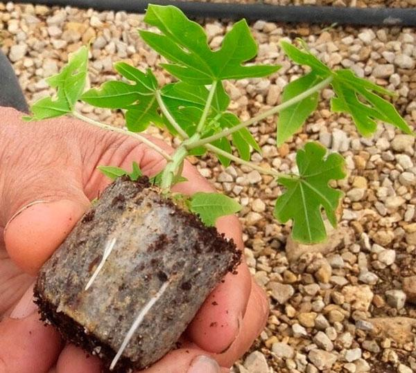 Как выращивать папайя в домашних условиях?