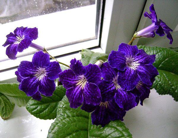 цветет стрептокарпус