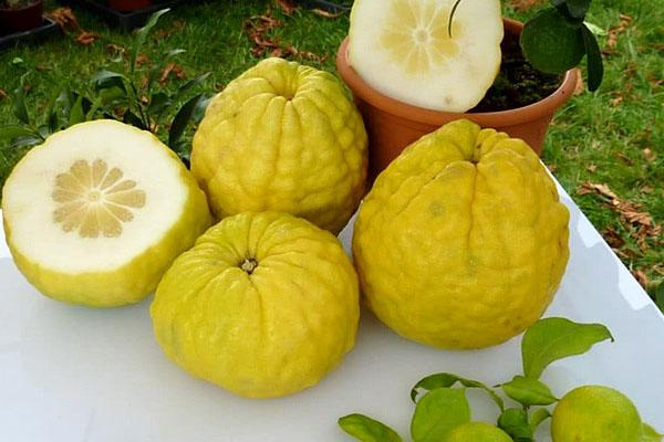 плоды цитрона в разрезе