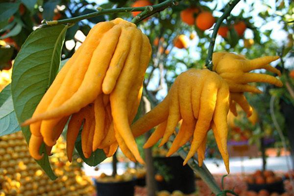 уникальная форма плодов цитрона