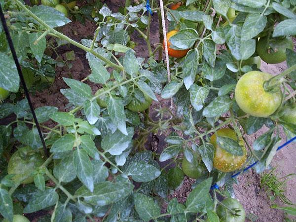 обработка томатов препаратом Ордан