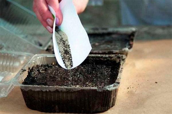 размножение кампанулы многолетней семенами