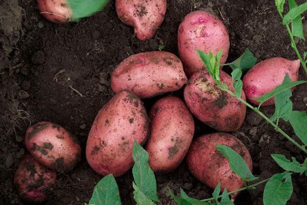 Картофель Розара описание и характеристика сорта рекомендации по выращиванию с фото