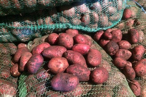 раннеспелый картофель Розара