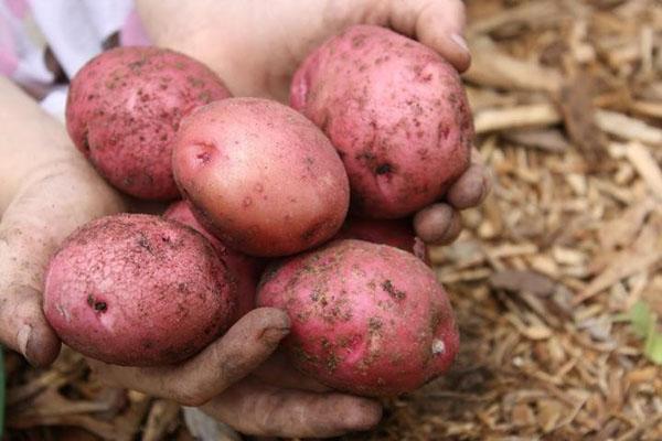 крупные плоды картофеля Розара