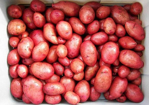 закладка картофеля на проращивание