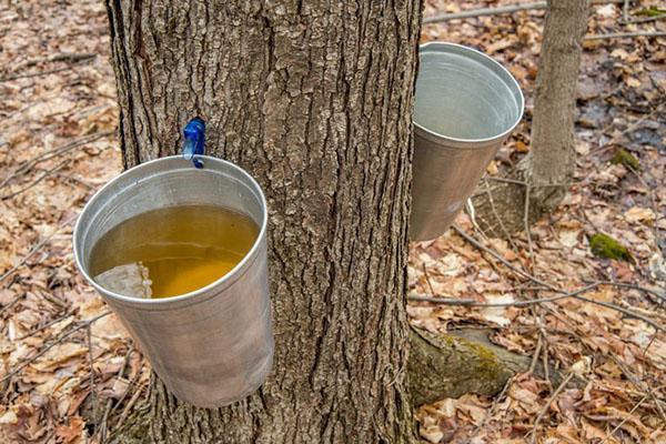 как собирают кленовый сок