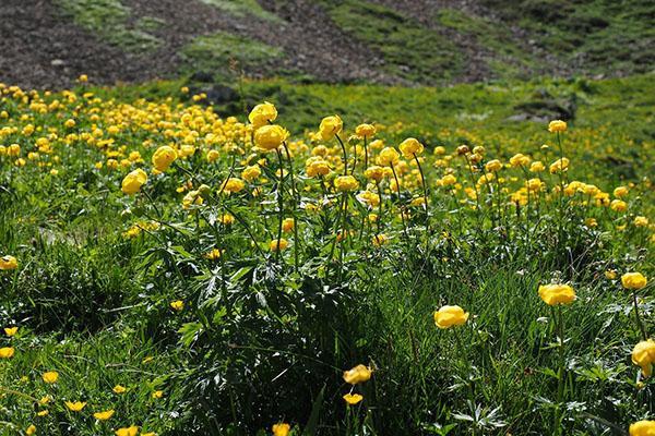 поле цветущей купальницы