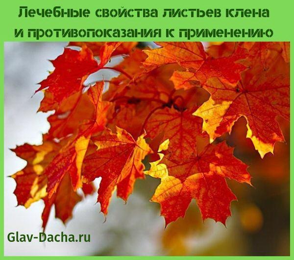 лечебные свойства листьев клена и противопоказания