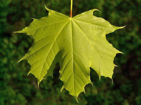 кленовый лист летом