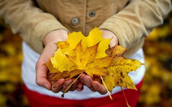 сбор листьев клена