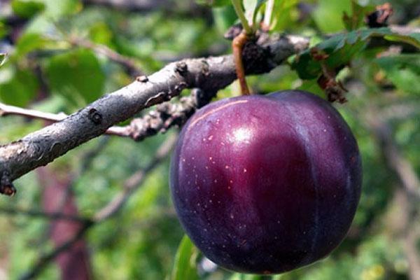 крупные сочные плоды