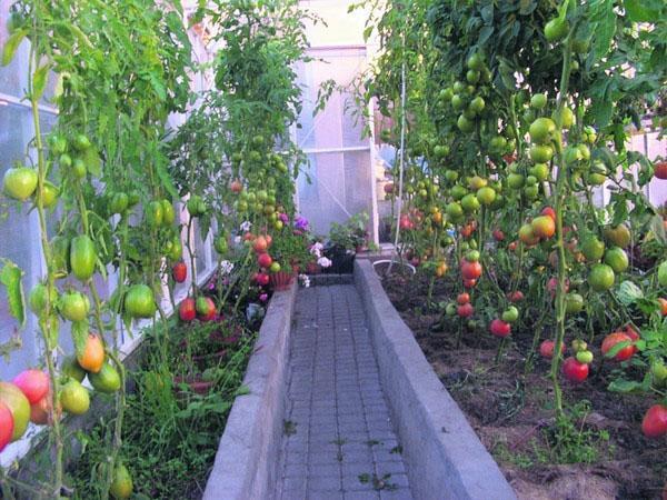 корневая подкормка помидор