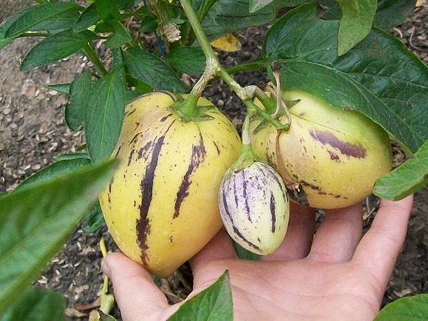 растение пепино или дынная груша