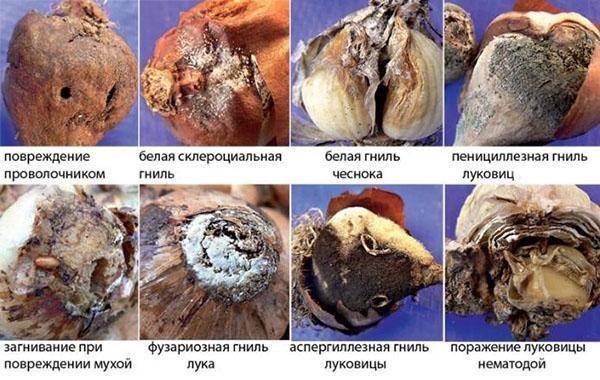болезни луковиц