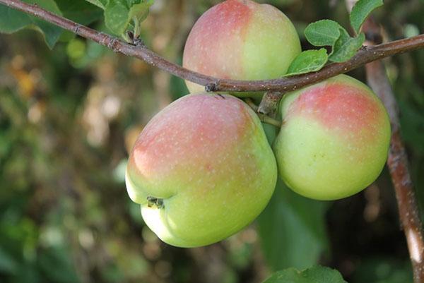 сочные осенние яблоки
