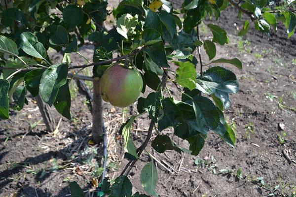 первые плоды яблони сорта Северный Синап