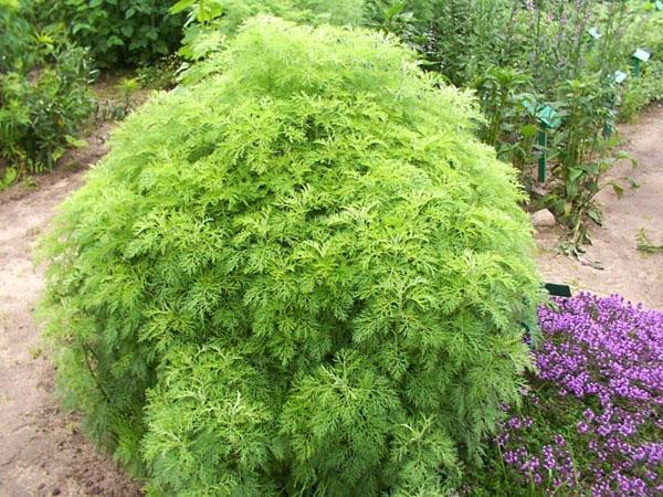 выращивание полыни божье дерево